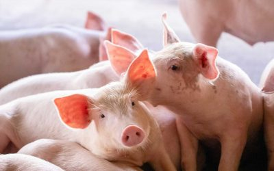Stockhead: Apiam gives Aussie farmers a boost with new piglet survival treatment